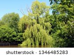 close up of weeping willow tree ... | Shutterstock . vector #1346485283