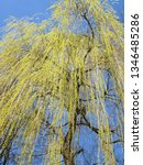 close up of weeping willow tree ... | Shutterstock . vector #1346485286