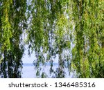 close up of weeping willow tree ... | Shutterstock . vector #1346485316