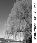 close up of weeping willows... | Shutterstock . vector #1346518490