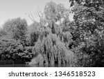 close up of weeping willows... | Shutterstock . vector #1346518523