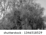 close up of weeping willows... | Shutterstock . vector #1346518529