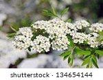 Spiraea Alpine Spring Flower  ...