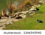 nile goose  egyptian goose ... | Shutterstock . vector #1346545940