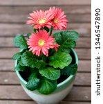gerbera plant with flowers in... | Shutterstock . vector #1346547890