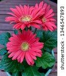 gerbera plant with flowers in... | Shutterstock . vector #1346547893