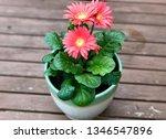 gerbera plant with flowers in... | Shutterstock . vector #1346547896