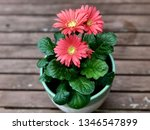 gerbera plant with flowers in... | Shutterstock . vector #1346547899