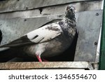 pigeons and their extended... | Shutterstock . vector #1346554670