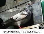 pigeons and their extended... | Shutterstock . vector #1346554673