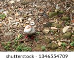 pigeons and their extended... | Shutterstock . vector #1346554709