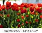 red tulips in spring | Shutterstock . vector #134657069