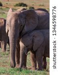 a tusskles female elephant... | Shutterstock . vector #1346598776
