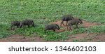 a family of warthogs | Shutterstock . vector #1346602103