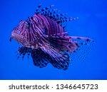 close up  lion fish beautiful. ... | Shutterstock . vector #1346645723