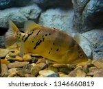 siamese tiger fishes fish in... | Shutterstock . vector #1346660819