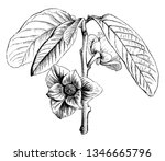 asimina triloba is a small... | Shutterstock .eps vector #1346665796