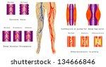 vascular system legs.... | Shutterstock .eps vector #134666846