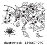 picture is showing the clematis ... | Shutterstock .eps vector #1346674040