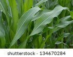 Green Mass Of Corn