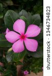 catharanthus roseus  commonly... | Shutterstock . vector #1346734823