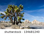 a large joshua tree stands...