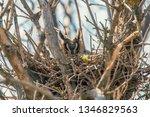 Long Eared Owl Nesting  Asio...