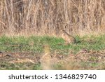 Stock photo european brown hare lepus europeaus hiding in field spring time 1346829740