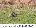 Stock photo european brown hare lepus europeaus hiding in field spring time 1346829743