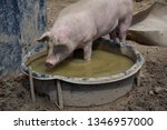 Small photo of Pig: a single pig in its wallow