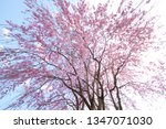 weeping cherry tree in japan | Shutterstock . vector #1347071030