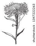 Centaurea Americana Is Known A...