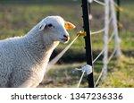 Sheep In A Field Near An...