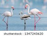 Greater Flamingo ...