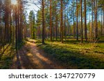 Pine Forest Path In Finland....