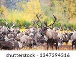Herd Of Reindeer In The Tundra...