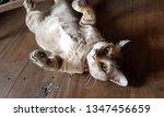 thai cat lay comfortably on... | Shutterstock . vector #1347456659