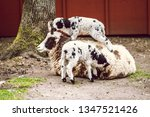 two lambs and their mother | Shutterstock . vector #1347521426