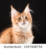 portrait of fluffy maine coon... | Shutterstock . vector #1347608756