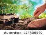 farmer planting tomatoes... | Shutterstock . vector #1347685970