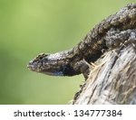Eastern Fence Lizard 2