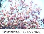 magnolia blossom spring garden  ... | Shutterstock . vector #1347777023
