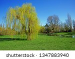single weeping willow  salix x... | Shutterstock . vector #1347883940