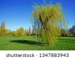 weeping willows  salix x... | Shutterstock . vector #1347883943
