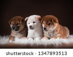 Stock photo three puppies of the shiba inu is two red and one cream and white dog lying on a white fur on a 1347893513