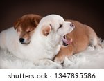 Stock photo portrait of two puppies dog shiba inu white cream puppy yawning and red puppy sleeping on brown 1347895586