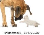 Stock photo great dane looking at a kitten isolated on white 134792639