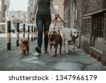 Stock photo dog walker enjoying with dogs while walking outdoors 1347966179