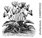 cyclamen is a genus of...   Shutterstock .eps vector #1348093310