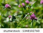 Wildflowers  Wild Clover On A...